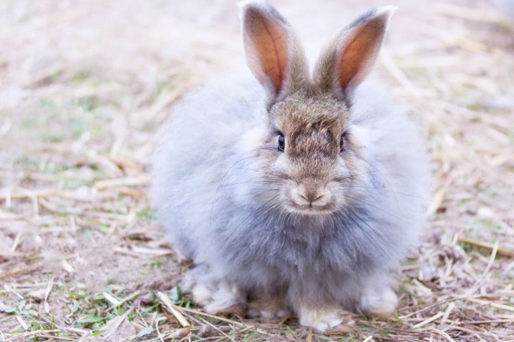 prendre soin d'un lapin angora